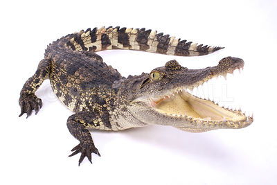 Siamese crocodile (Crocodylus siamensis) photos