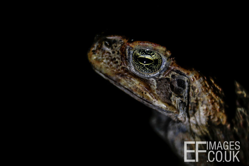 Haughty Looking Cane Toad At Night