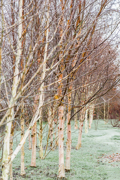Groups of seven birches in the Birch Grove including Betula utilits var. jacquemontii 'Doorenbos' and pink tinged Betula albosinensis 'Hergest'.