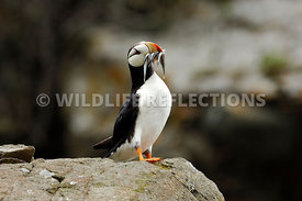 Horned Puffin Mouthful Fish 1