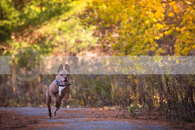 brindle pit bull running down paved autumn path