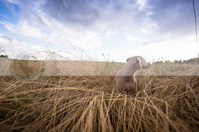 weimaraner looking away in field of dried grasses