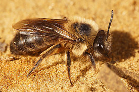 Colletes cunicularius, female