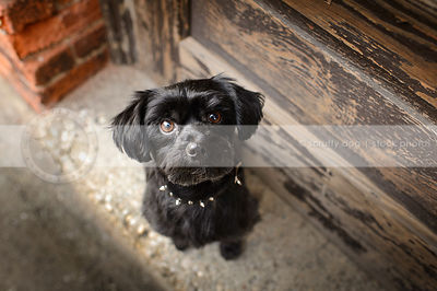 cute small black dog staring upward from stoop