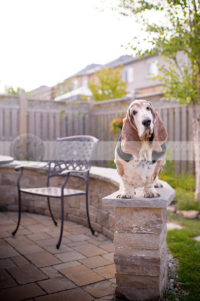 curious old basset hound dog perched on patio brick wall in yard
