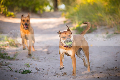 two mixed breed tan dogs fetching ball running in sand dunes