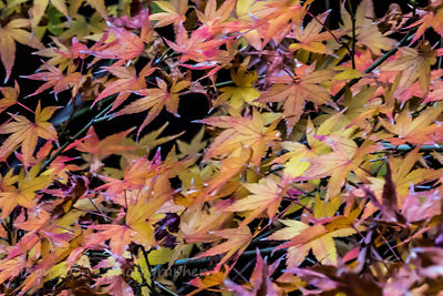HR-JapaneseMaple-Fall-9811