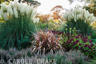 Herbaceous and grasses garden features large clumps of pampas grass, Cortaderia, grasses such as miscanthus and flowering plants including dahlias, asters, phormiums, sedums and Salvia uliginosa. Exbury Gardens, Exbury, Hants, UK
