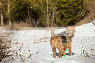 airedale terrier standing looking back in field of snow