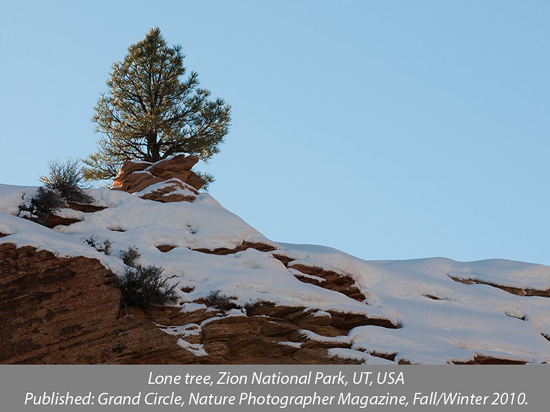 Lone tree on hill, Zion National Park, Utah, USA
