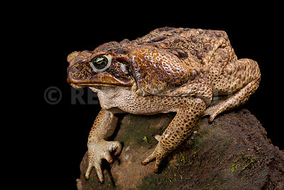 Cane toad (Rhinella marina) photos