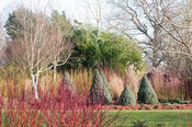 White stemmed birches with cornus and Picea glauca 'Haal' = Alberta Blue seen through red stemmed cornus. Sir Harold Hillier Gardens, Ampfield, Romsey, Hants, UK