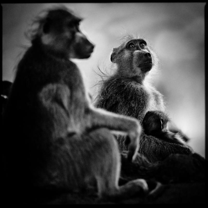 7490-The_dreamer_baboon_Laurent_Baheux