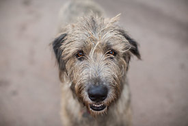 Irish wolfhound looks directly at the camera