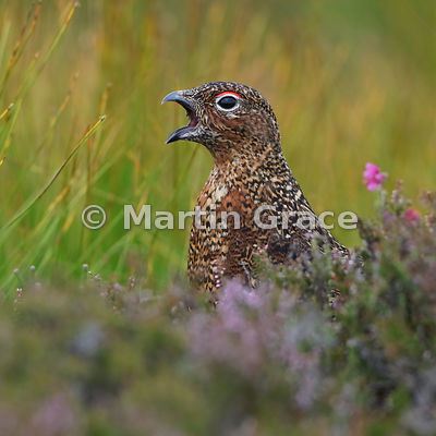 Red Grouse (Lagopus lagopus scotica) calling, August 10, Lochindorb, Scottish Highlands