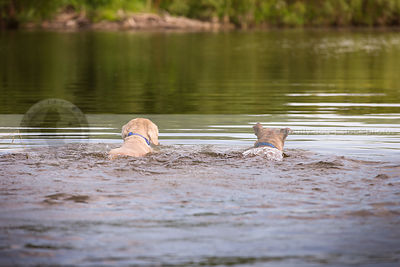two dogs swimming away in deep river
