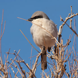 Loggerhead Shrike wildlife photos