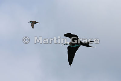 Galapagos Shearwater (Puffinus galapagensis) & Magnificent Frigatebird juvenile (Fregata magnificens) flying by coincidence in the same shot, Punta Pitt, San Cristobal, Galapagos Islands