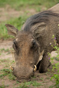 Warthog eating grass, Phacochoerus africanus, Lake Mburo National Park, Uganda