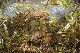 Common Toads, Bufo bufo in amplexus (mating) in pond surrounded by frog and toad spawn, North Norfolk March