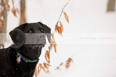 closeup headshot of intense black dog in snow and leaves