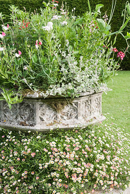 Stone planter surrounded with Erigeron karvinskianus, planted with a frothy mix of Salvia elegans, helichrysum, sweet pea, verbena and Argyranthemum 'Chelsea Girl' at Cothay Manor, Somerset
