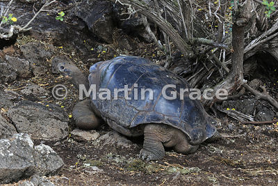 Galapagos Giant Tortoise (domed but of unknown origin) (Chelonoidis nigra aka Geochelone elephantophus), Charles Darwin Research Station, Santa Cruz, Galapagos