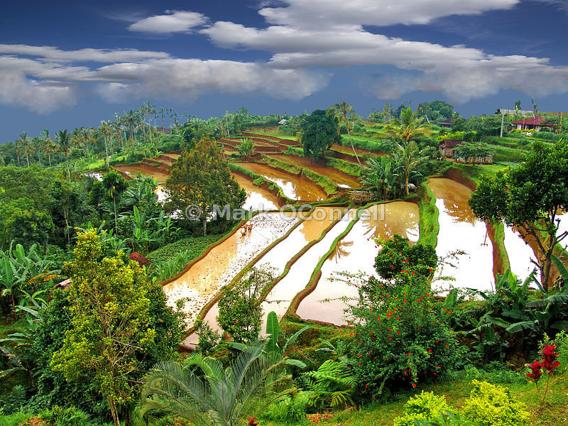 Bali rice fields Indonesia
