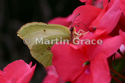 Under side of a female Brimstone butterfly (Gonepteryx rhamni) feeding on a garden Impatiens sp flower (known as Busy Lizzie in Great Britain