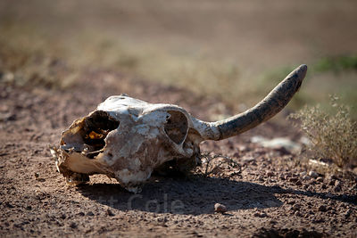 Cow skull in Keechan, Rajasthan, India