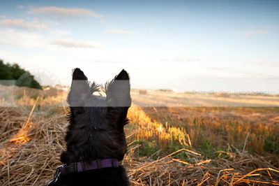 black dog ears from behind in cut wheat field with sky