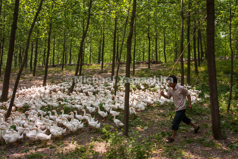 A young man herds his flock on an early morning search for food before leading the geese to the canal just south of Huaian for a swim. Many small-scale farmer in rural communities along the canal support themselves by supplying boat crews with waterfowl meat - as well as cigarettes and beer.