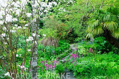 Stepping stones across stream surrounded by moisture loving plants including yellow Primula prolifera, magenta Primula pulverulenta, ferns, hostas and daylilies with azaleas, rhododendrons and palms above. Minterne, Minterne Magna, Dorset, UK