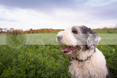 cute white and silver english sheepdog in field with autumn trees