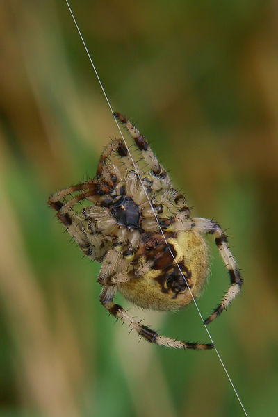 Araneus diadematus - Kruisspin photos