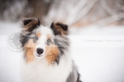 headshot of sweet tricolor dog in snow with bokeh background