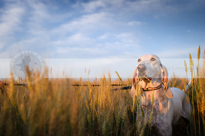 sunlit porcelaine hound standing in wheat under blue sky