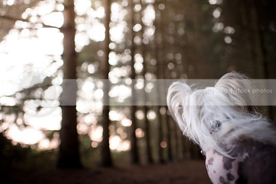creative closeup of chinese crested dog looking away in forest