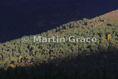 Caledonian Pineforest (Pinus sylvestris var scotica), Glen Feshie, Badenoch & Strathspey, Scottish Highlands