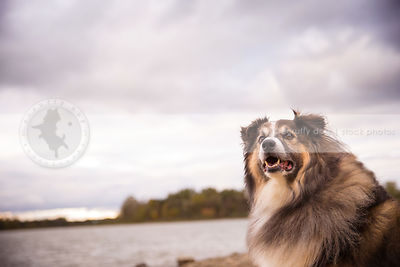 portrait of alert shaggy longhaired dog at lake shore under stormy sky