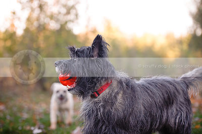 small wirehaired terrier dog carrying ball in natural setting