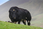 Powerful British Blue bull out on upland pasture in the Trough of Bowland, Lancashire, UK.