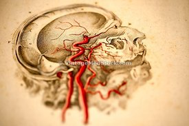 Blood Vessels in the Head