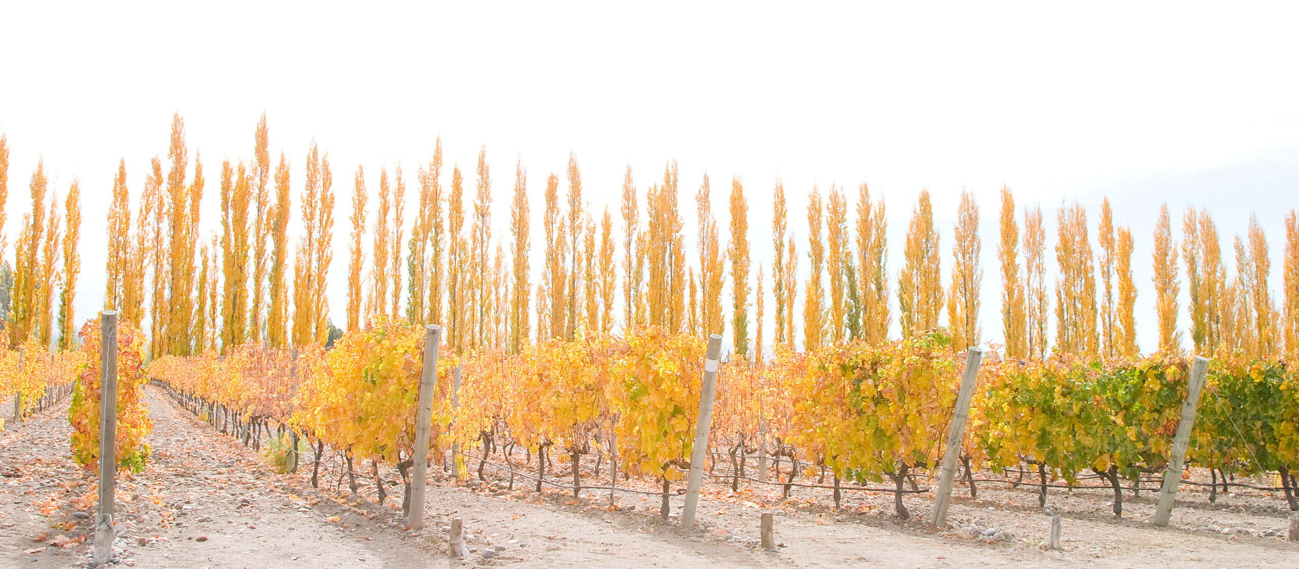 Rows of yellow leaf trees along side an autumn vineyard in Mendoza
