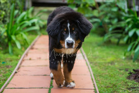 Bernese Mountain Dog Puppy Walking Down Garden Pathway