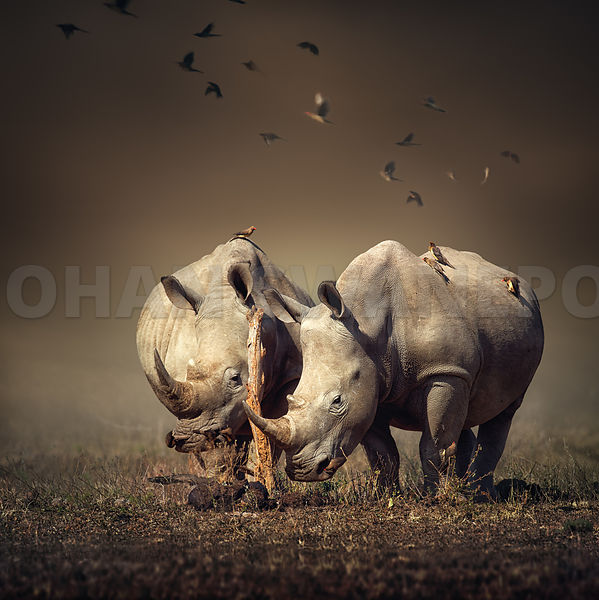 Two Rhino's with birds in field