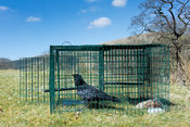 Carrion Crow in Larsen trap, used to control crow population in countryside. Cumbria, UK.