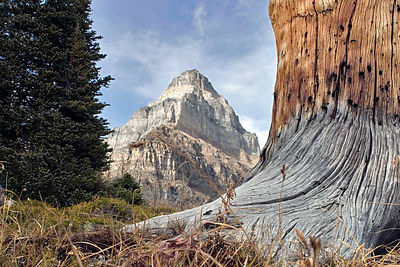 Old-growth Western Larch snag, Sentinel Pass, Banff National Park, Canadian Rockies.