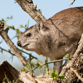 Hyrax wildlife photos