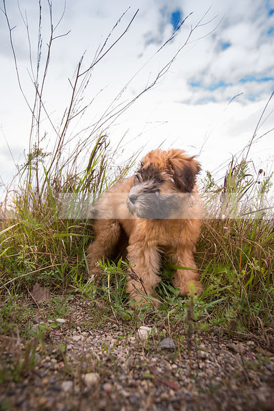 windblown scruffy tan puppy standing on gravel path with sky